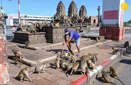 یک شهر در تسخیر میمونها/عکس